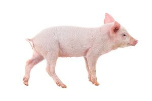 US research: growing human organs in pigs